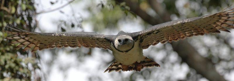 HarpyEagle -