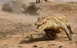 Top 10 Dangerous Animal - Crocodile