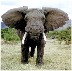 African Elephant | Top 10 strongest animals