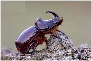 Rhino Beetle | Top 10 strongest animals