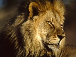 Top 10 Dangerous Animal - African Lion