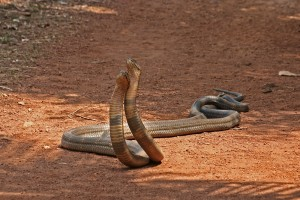Top 10 Dangerous Animal -  Asian King Cobra