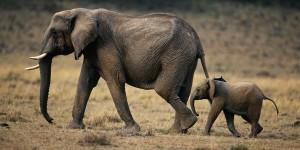Top 10 Dangerous Animal - Elephant
