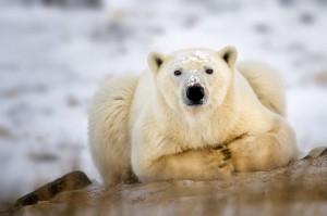 Top 10 Dangerous Animal - Polar Bear