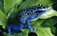 Top 10 Dangerous Animal - Poison Dart Frog