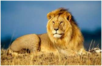Lion - Top 10 animals being killed by poachers